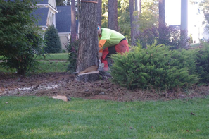 crew in safety gear cutting down a tree close to the ground